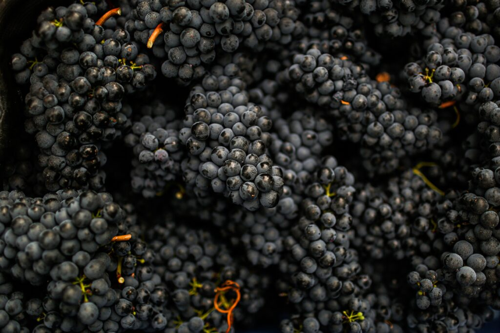freshly picked Italian red wine grapes