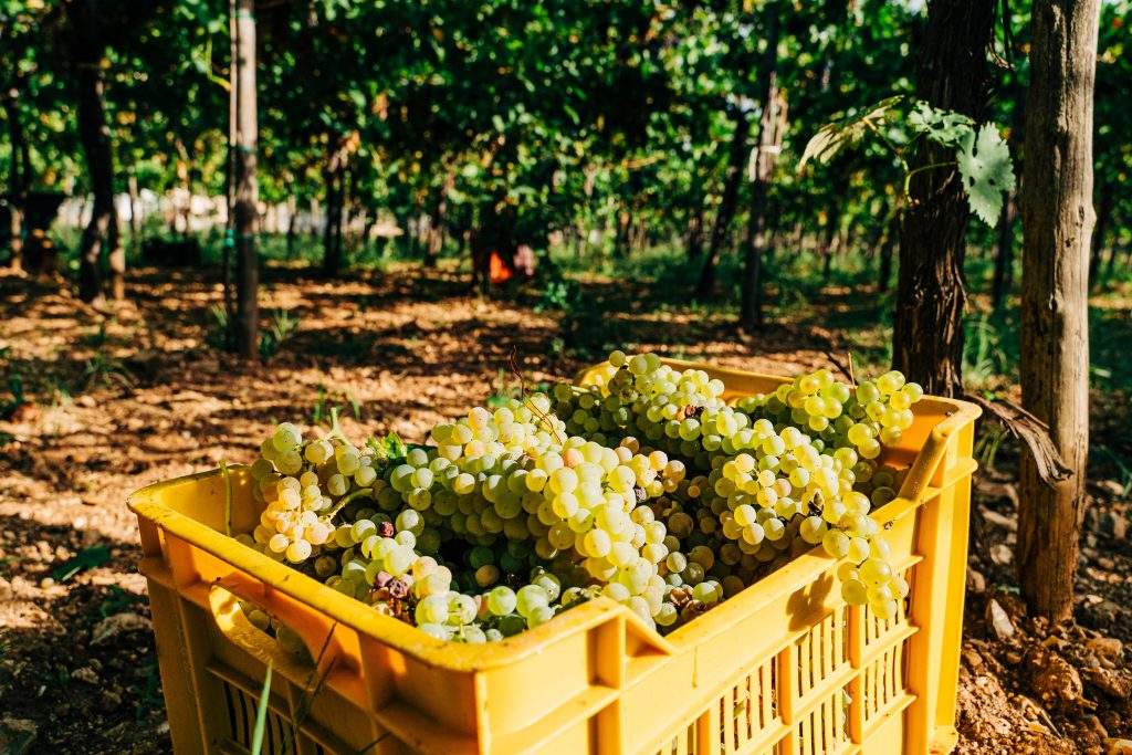 freshly picked white wine grapes in the vineyard